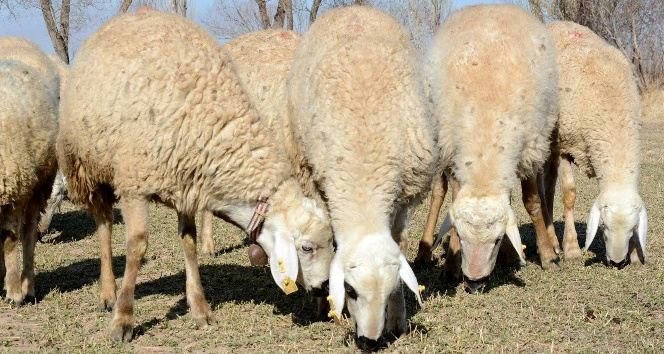 İthal koyun keçide veba korkusu! Sofradaki tehlike