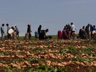 Üreticiler, Turfanda Patates Hasadını Sürdürüyor