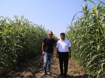 Türkiye'nin İlk Şeker Sorgumları Tescil Edildi