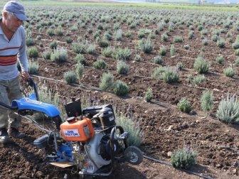 Çukurova'da Lavanta Tarımı Yaygınlaşıyor