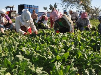 Çiftçiye Ispanak Eğitimi Veriliyor