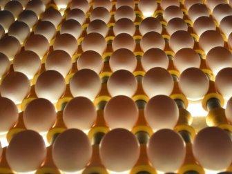 Irak'ın Yumurta İthalatı Yasağı Suriye ve Kuveyt'e İhracatta Rekor Getirdi