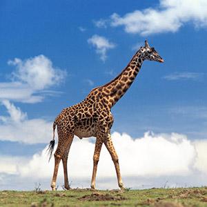 Rüyada Zürafa görmek ne anlama gelmektedir?