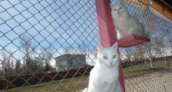 Van kedileri artık her mevsim yavrulayabilecek
