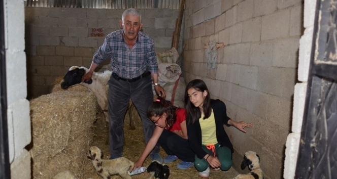 Çivril'de bir koyun altız doğurdu