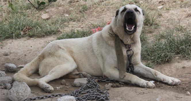 Sahte içki imalathanesine köpekli-koyunlu koruma