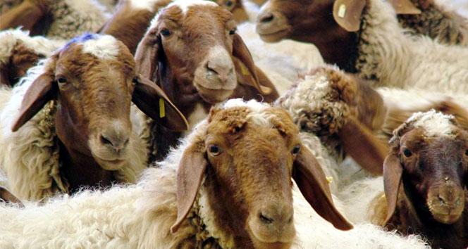 Esrar kalıntılarını yiyen koyunlar, köyü talan etti