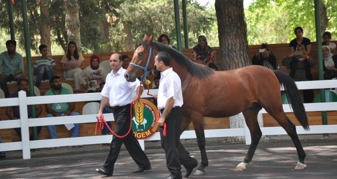 Ev fiyatına yarış atı şatışı!