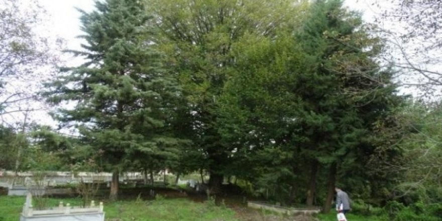 Samsun'un en yaşlı ağacı