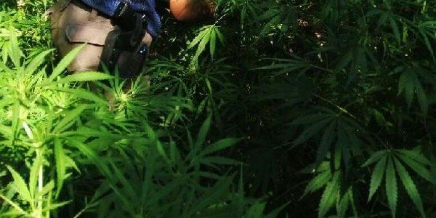Adıyaman'da tam bin 125 kök kenevir bitkisi ele geçirdi