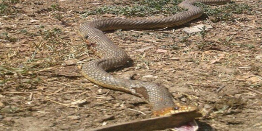 4 metre uzunluğundaki yılanı...