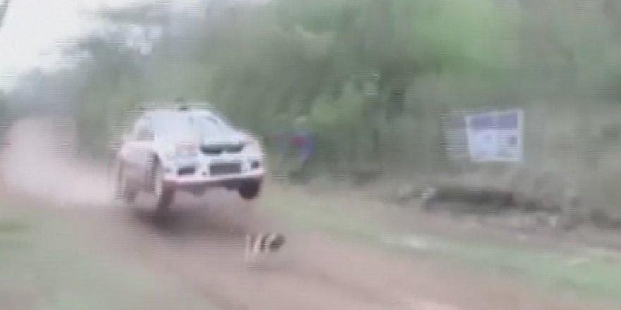 Ralli pistinde mucize! İşte dünyanın en şanslı köpeği..