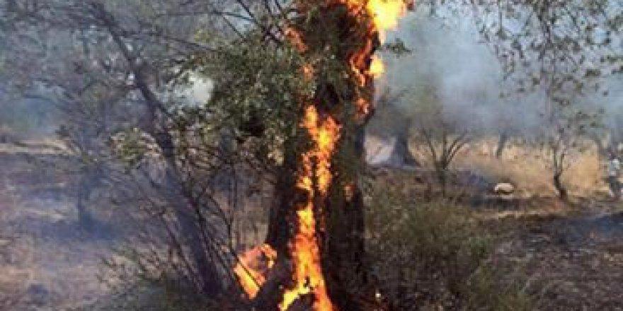 Balıkesir, Edremit'te  Zeytinlik Yangını Korkuttu!