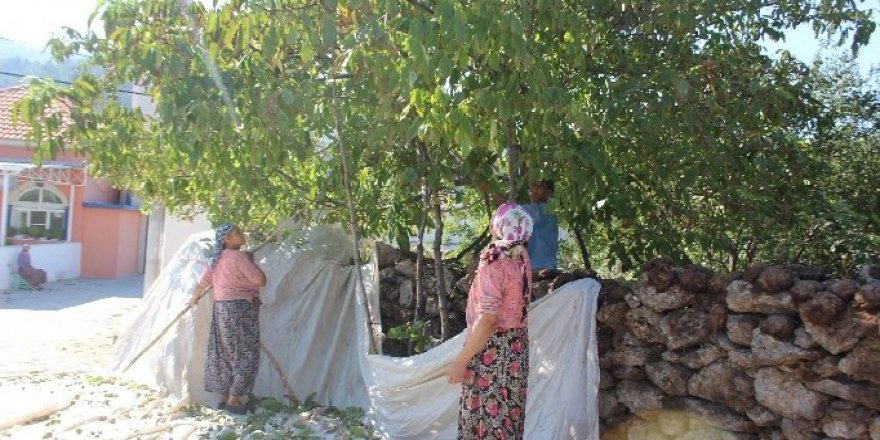 Aydın'da Cevizler Mevsimi Şaşırdı