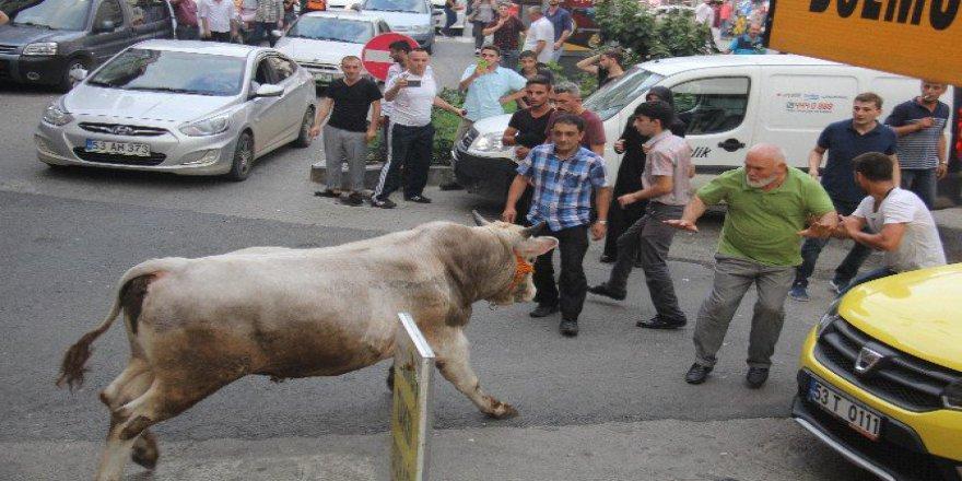 Rize'de Kaçan Boğalar Şehri Birbirine Kattı!