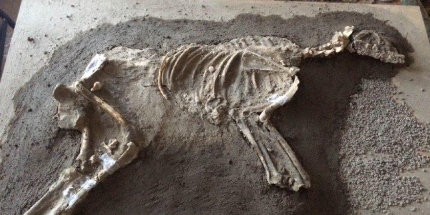 2700 yıllık köpek iskeleti o ilimizde sergilenecek!