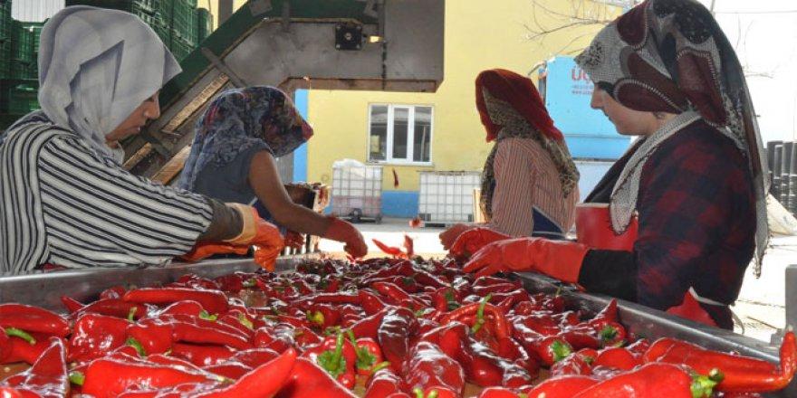 Hollanda damak tadını Bursa, İnegöl'de buldu