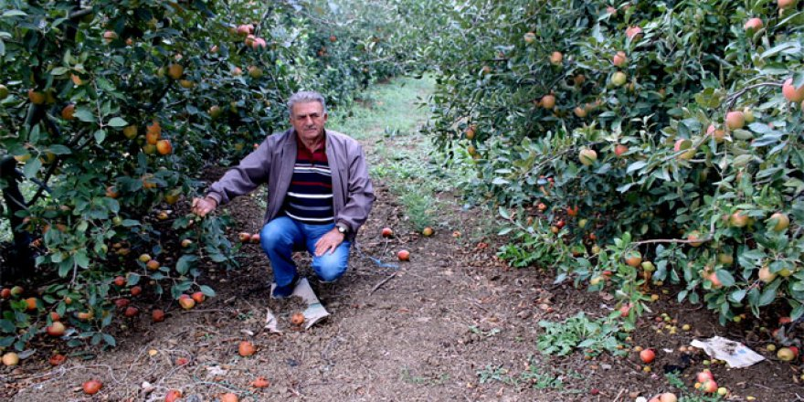 Bursa Yenişehir'de 250 Bin Elma Ağacı Odun Olacak