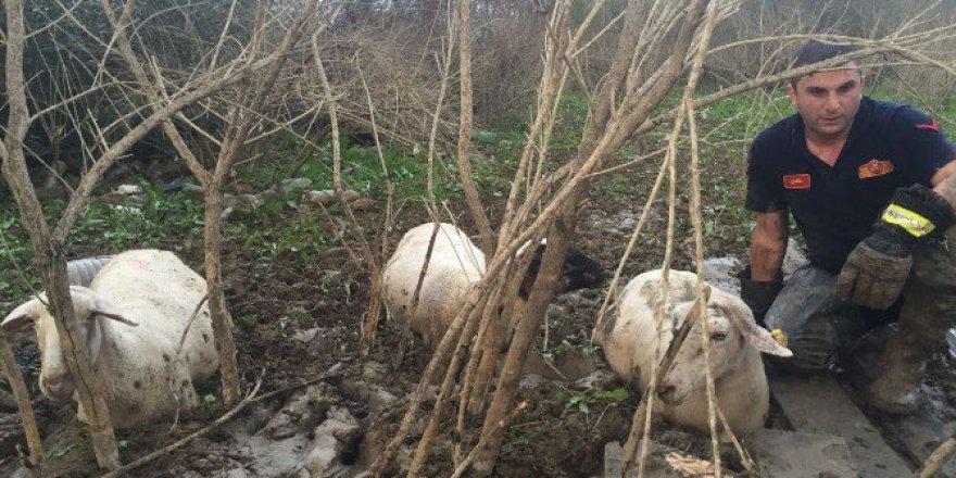 Bursa'da Koyun Sürüsü Bataklığa Saplandı