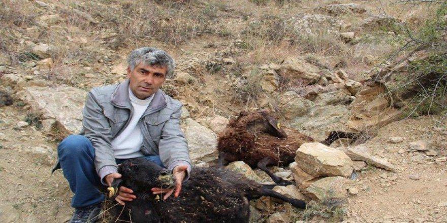 Erzurum'da Sokak Köpekleri 7 Koyunu Telef Etti