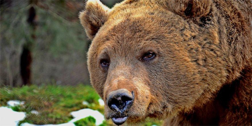 Bolu'da ormanlık alanda meyve toplarken ayının saldırısına uğradı