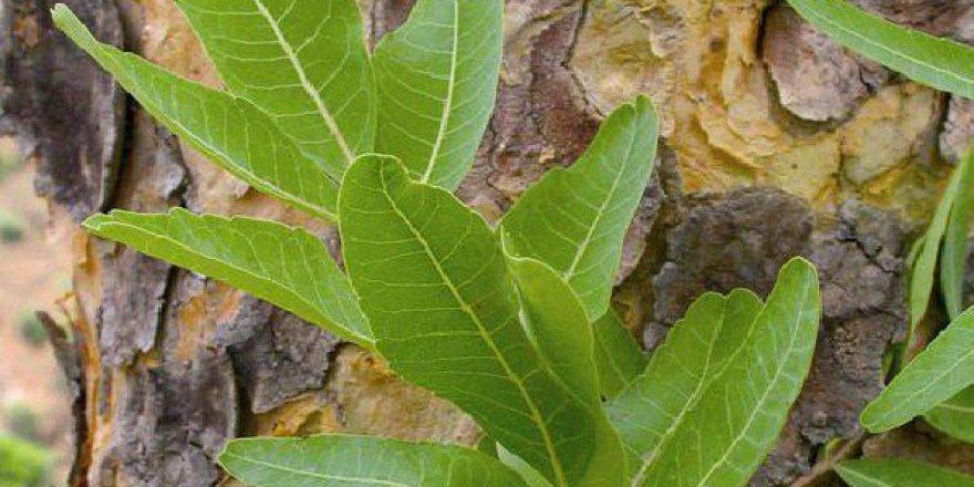 İltihaba Meydan Okuyan Bitki, Boswellia Serrata
