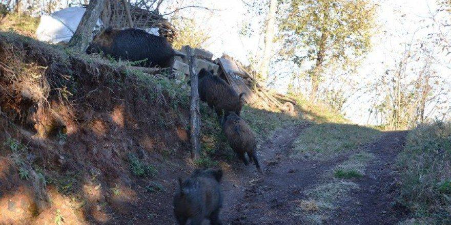 Ordu'da Aç Kalan Yaban Domuzları Köye İndi