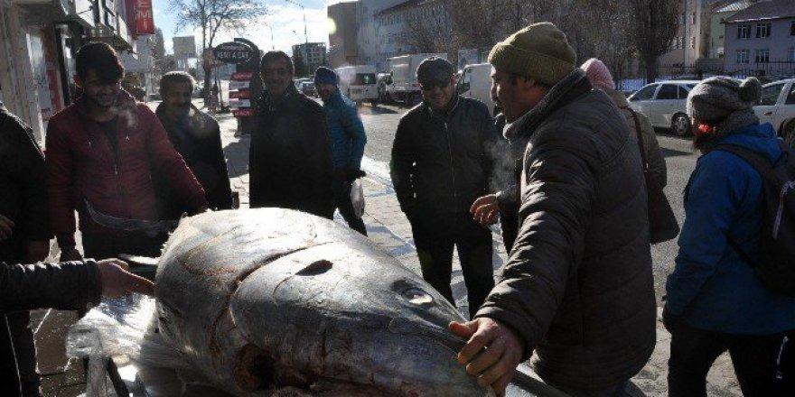 Kars'ta 250 Kiloluk Dev Orkinos hayran bıraktı