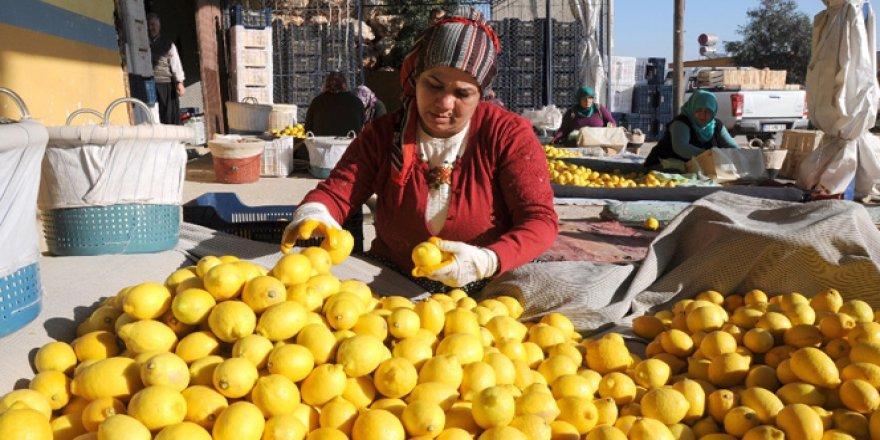 Erdemli'de Çiftçinin Yüzünü Güldüren Limon fiyatlarında Artış müjdesi