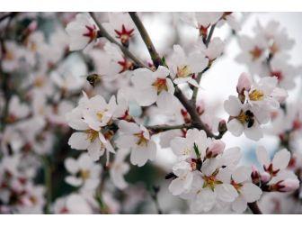 Tokat'ta Badem Ağaçları Çiçek Açtı