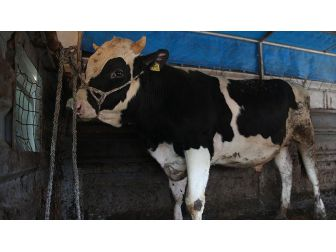Kırmızı Et Üreticilerinden Hollanda'ya 'Holstein'lı Tepki