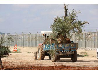Zeytin Ağacı Nakilleri Sürüyor
