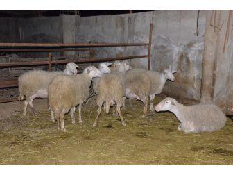 Nazilli'de 21 Koyunu Çalınan Çiftçi İsyan Etti