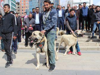 Hollanda'yı Kangal Köpekleriyle Protesto Ettiler