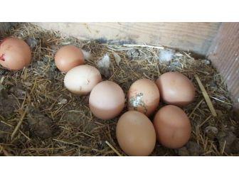 Gezen Tavuk Yumurtalarına Büyük İlgi