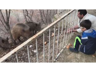 Tunceli'de, Yaban Domuzları Şehre İnmeye Devam Ediyor