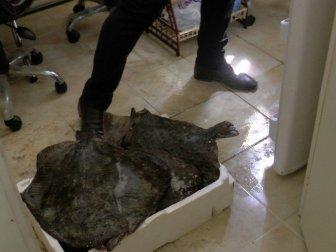 Akçakoca'da El Konulan Kalkan Balıkları İhale İle Satıldı
