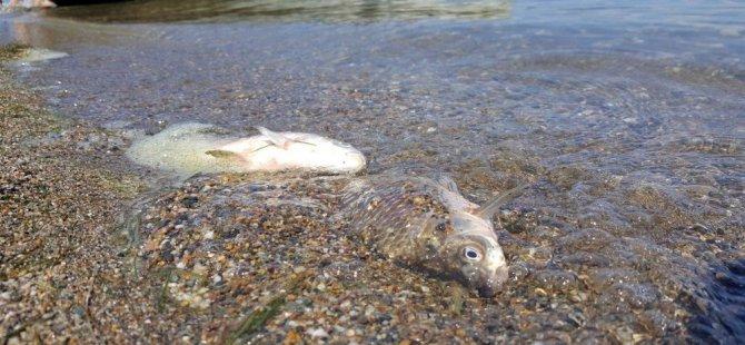 İznik Gölü'nde neler oluyor! Toplu ölümler şok etti