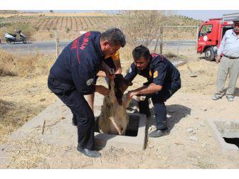 Köpeklerin Kovalamasıyla Kuyuya Düşen 37 Koyun Kurtarıldı