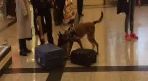 Alman Yolcuların Bagajlarında Atatürk Havalimanında Köpekli Arama