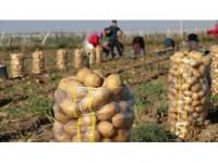 Patates Fiyatına 'Yazlık Hasat' Freni