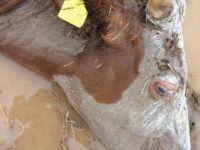 Afyonkarahisar'da Selde Telef Olan Yüzlerce Hayvan Sular Çekilince Ortaya Çıktı