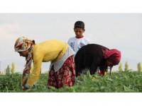 Mevsimlik Tarım İşçileri Konya Ovası'nda Mesaide