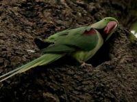 İstanbul'un Sevimli Misafirleri: İskender Papağanları