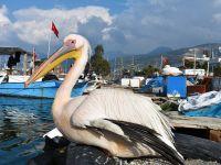 Balıkçı Barınağı 2 Pelikanın Yuvası Oldu