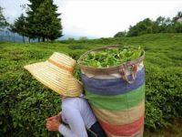 Çay İhracatından 1,6 Milyon Dolar Gelir Elde Edildi