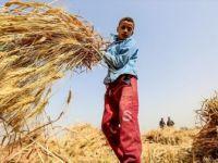 ILO, En Fazla Çocuk İşçi Tarım Sektöründe