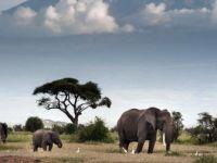 Afrika'da Fil Avlama Yasağının Kaldırılması Gündemde