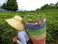 ÇAYKUR Yaş Çay Alımlarına Yarın Başlayacak