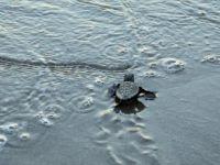 Yeni Fikirler Deniz Kaplumbağaları İçin Yarışacak